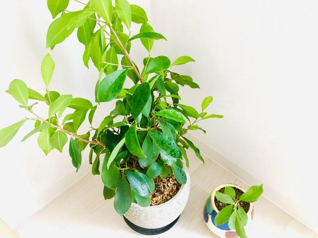開運 観葉植物